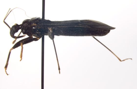 Reduviidae, lateral - Reduvius personatus
