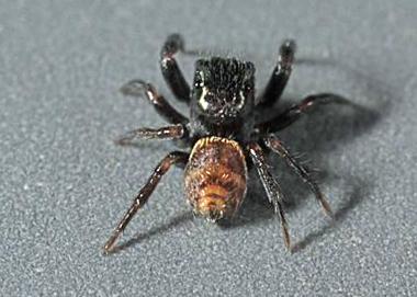 OC Spider - Chalcoscirtus diminutus - male