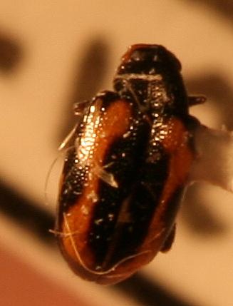 Phyllotreta sp. - Phyllotreta striolata