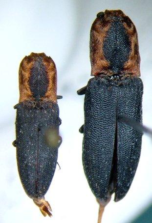 Lacon discoideus - male - female