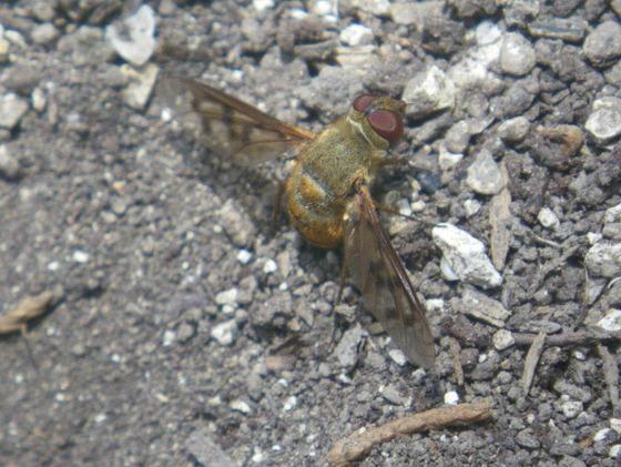 Fly  - Neodiplocampta miranda