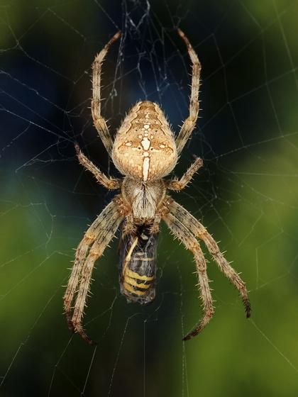 Spider w/ wasp prey - Araneus diadematus - female