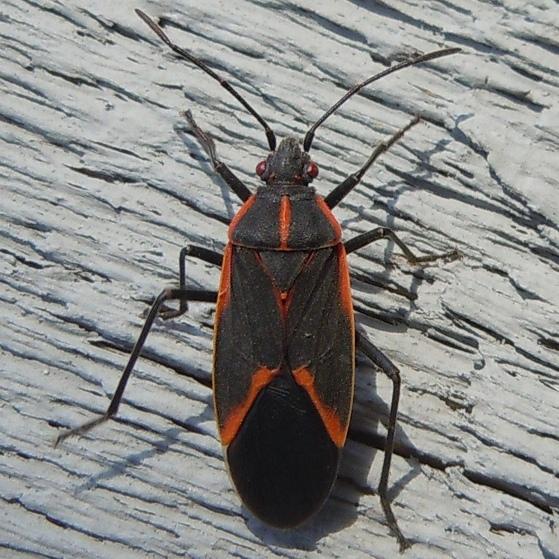 Eastern Boxelder Bug - Boisea trivittata