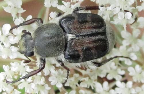 scarab - Trichiotinus assimilis