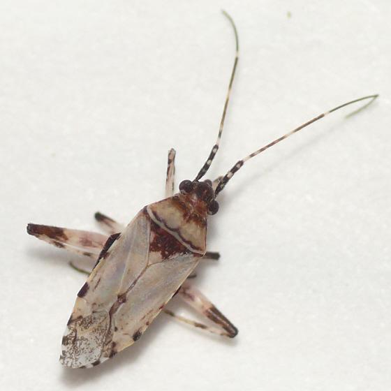 Phytocoris from Arizona (1) 10.07.01 - Phytocoris pulchricollis - female