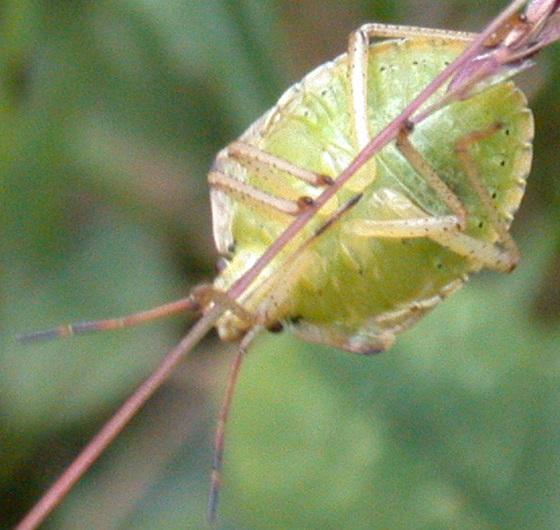 Yellowish green stink bug nymph - Euschistus
