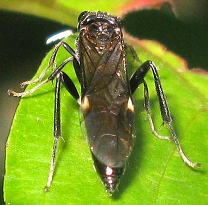 Sawfly - Macremphytus tarsatus
