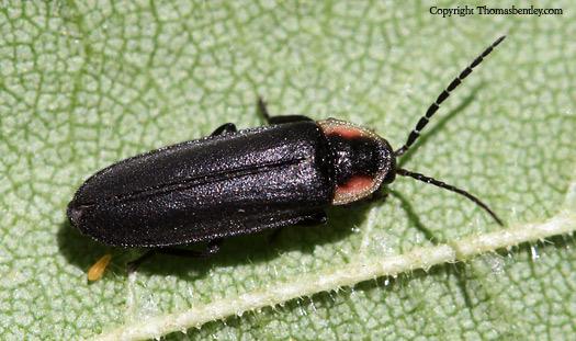 Beetle - Pyropyga decipiens