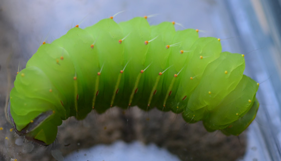 large bright green caterpillar - Antheraea polyphemus