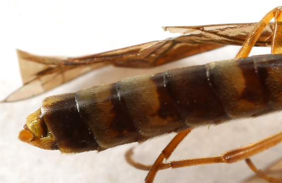 sawfly - Cephus cinctus