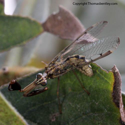 Mantidfly - Dicromantispa interrupta