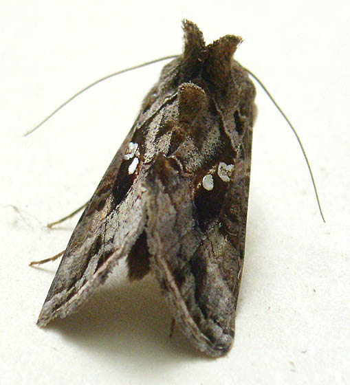 Moth - Chrysodeixis includens