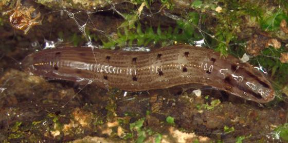 Keroplatidae, probably Keroplatus sp.