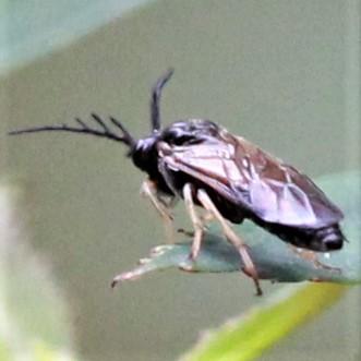 Big Horned Bug? - Lateral Dorsal - Cladius difformis