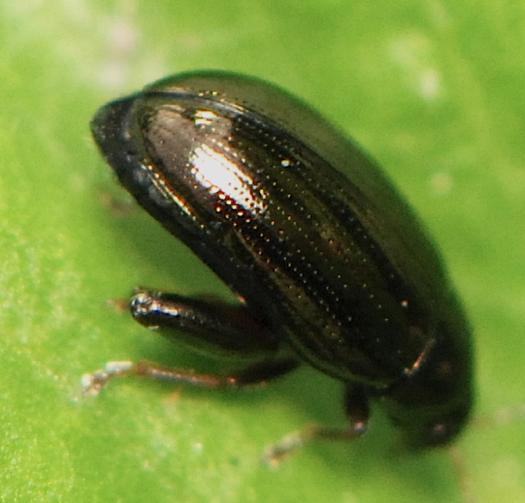 jumping tiny black beetle   Dibolia borealis. jumping tiny black beetle   Dibolia borealis   BugGuide Net