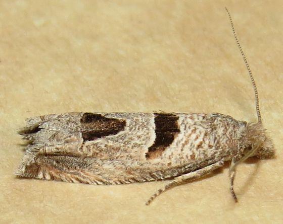 Aster-head Phaneta Moth - Hodges#2936 - Pelochrista costastriata