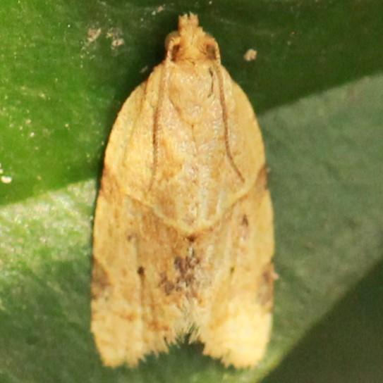 Garden Tortrix - Hodges#3688 - Dorsal - Clepsis peritana