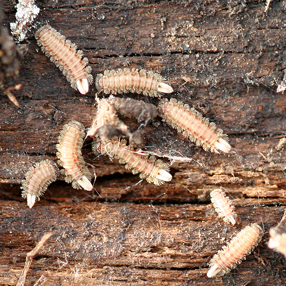 Soft Millipedes - Polyxenus lagurus