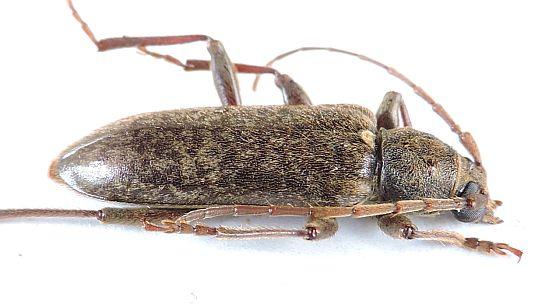 Pennsylvania Cerambycid for ID - Trichoferus campestris