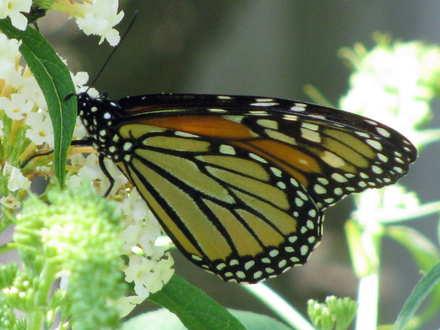 Species Danaus plexippus - Monarch - Hodges#4614 on buddleia - Danaus plexippus
