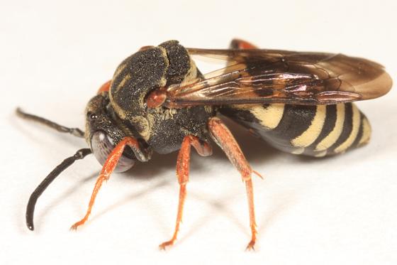 Cuckoo Bee - Epeolus autumnalis - female