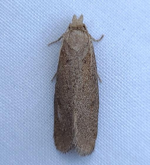 Sand Hills moth - Acrolophus