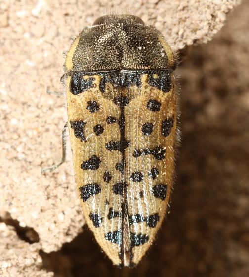 Spotted buprestid - Acmaeodera maculifera