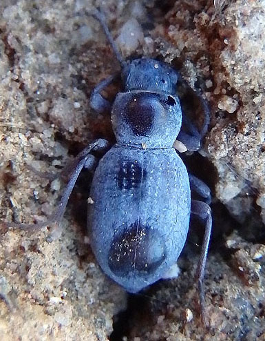 darkling beetle - Triorophus