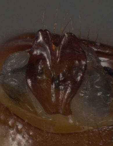 Phyllophaga debilis - female