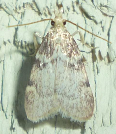 Aglossa - Acallis alticolalis