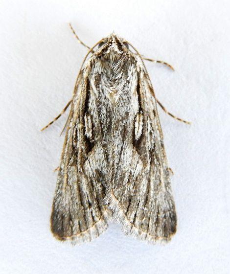 Arizona Moth - possible Hodges 10140 Sympistis chandleri  - Sympistis chandleri