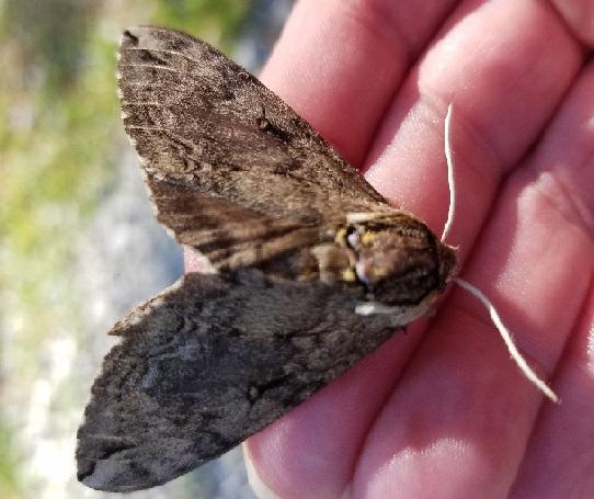 Moth on gravel - Ceratomia catalpae