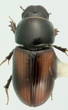 Planolinellus vittatus (Say) - Planolinellus vittatus - male