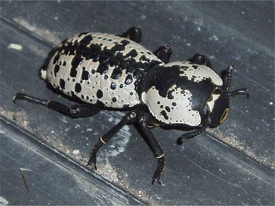 Large Beetle - Zopherus nodulosus