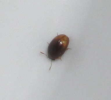 Shining Flower Beetle - Stilbus