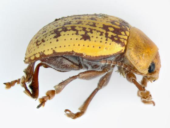Sumac Flea Beetle, lateral - Blepharida rhois