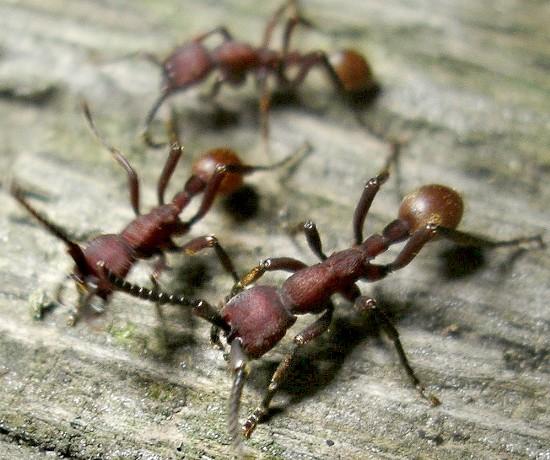 army ants - Nomamyrmex esenbeckii - female