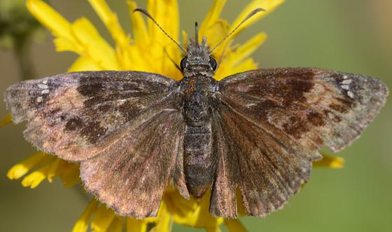 Columbine Duskywing - Erynnis lucilius