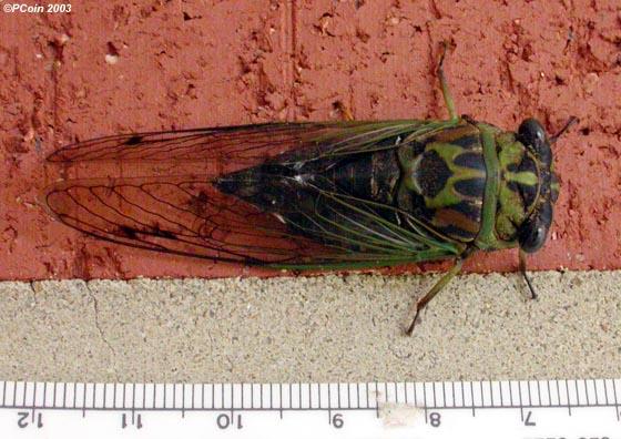 Cicada - Neotibicen linnei - female