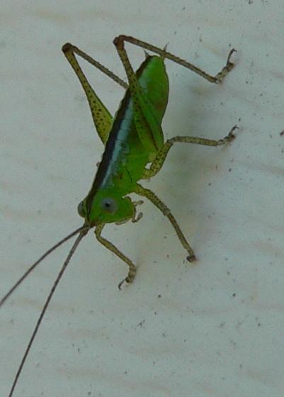 katydid nymph - Conocephalus - male