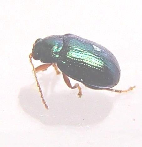 Flea beetle- Crepidodera nana? - Crepidodera