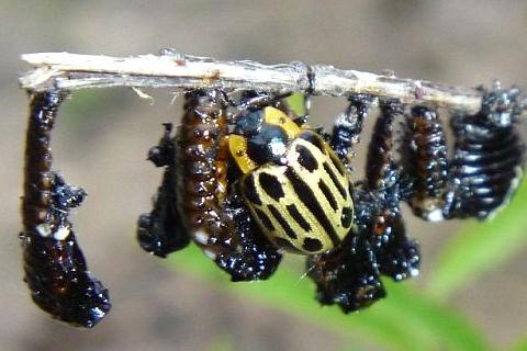 beetle - Chrysomela scripta