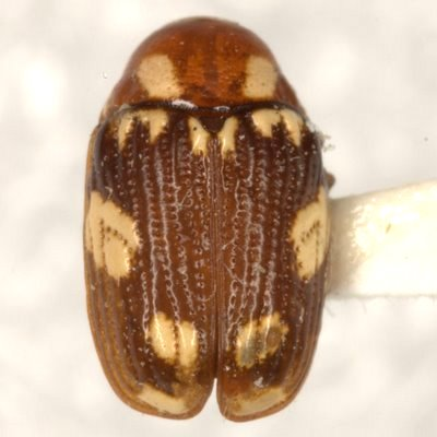 Bassareus areolatus (Suffrian)  - Bassareus areolatus