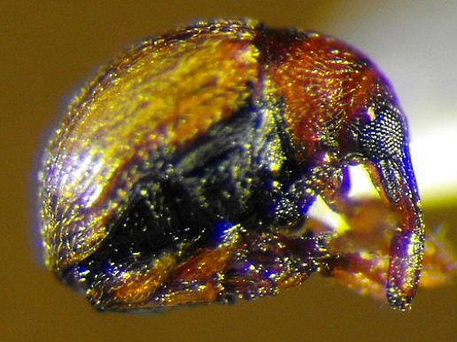 Weevil 5 - Microon canadense