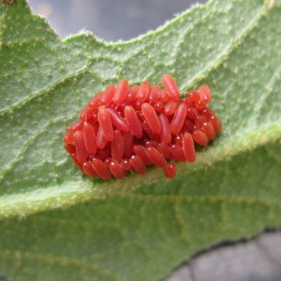 Calligrapha eggs, red eggs - Calligrapha serpentina
