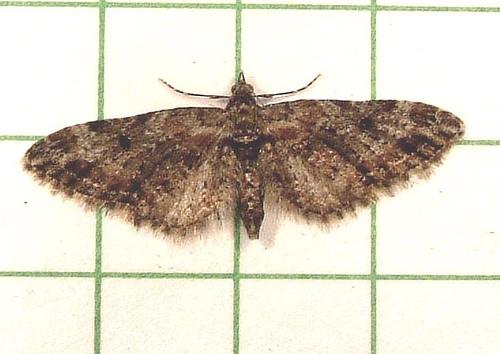 618 Eupithecia sp. - Eupithecia