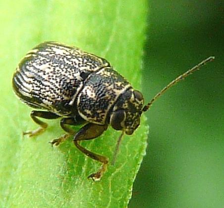 Beetle - Pachybrachis peccans