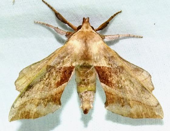 Walnut Sphinx - Amorpha juglandis - male