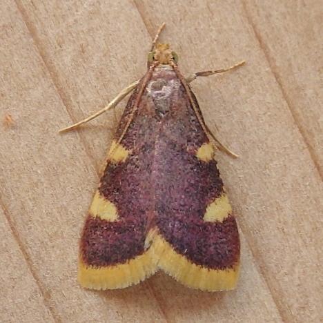 Pyralidae: Hypsopygia costalis - Hypsopygia costalis