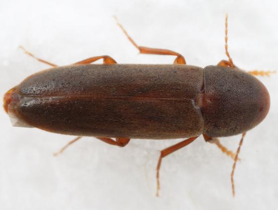 false darkling beetle